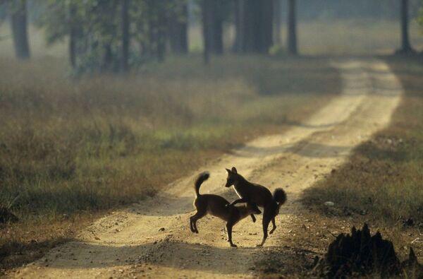 il cuon, cane rosso - Sputnik Italia