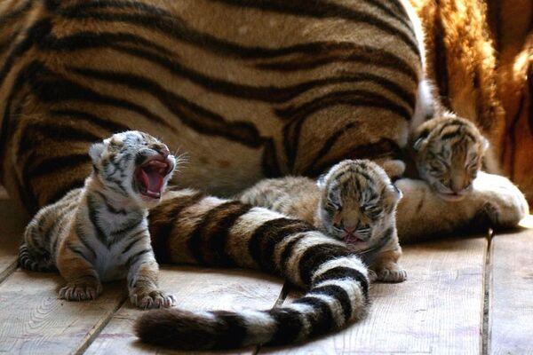 La tigre siberiana - Sputnik Italia