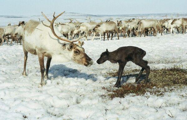 Una renna con il suo cucciolo - Sputnik Italia