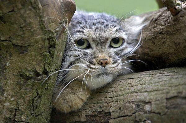 Il gatto delle steppe - Sputnik Italia