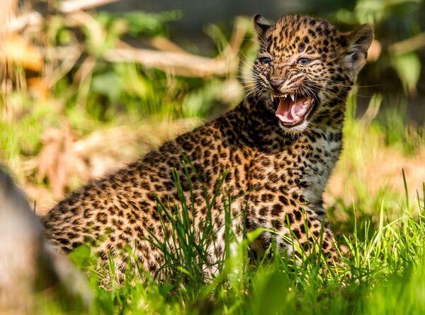 cucciolo di Leopardo - Sputnik Italia