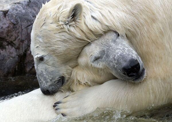 Una coppia di orsi bianchi - Sputnik Italia