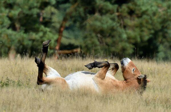 Pony della Mongolia - Sputnik Italia
