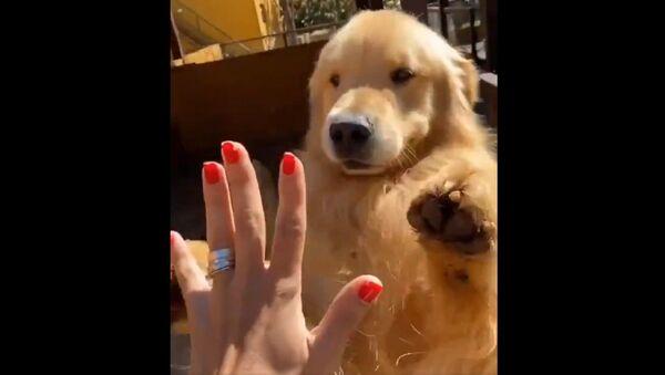 Dammi il 5! Golden Retiever impara un nuovo trucco - Video - Sputnik Italia