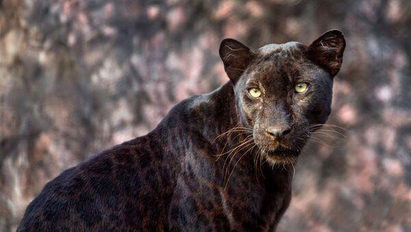 Leopardo nero estremamente raro - Sputnik Italia