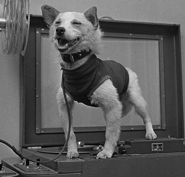 Il cane cosmonauta Belka dopo il ritorno sulla Terra. - Sputnik Italia