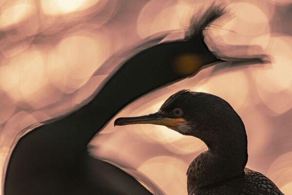 La foto End of the Day (La fine del giorno) del fotografo Majed AlZa'abi (Kuweit), nominato vincitore del concorso  Bird Photographer of the Year 2020. - Sputnik Italia