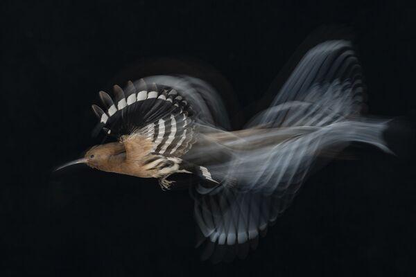 La foto Volo di upupa a velocità bassa di Gadi Shmila (Israele), che ha vinto nella categoria Uccelli in volo.  - Sputnik Italia