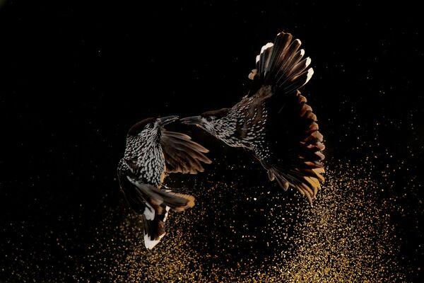La foto Schiaccianoci che lottano nella neve del fotografo olandese Roelof Molenaar, vincitore nella categoria Comportamenti degli uccelli. - Sputnik Italia