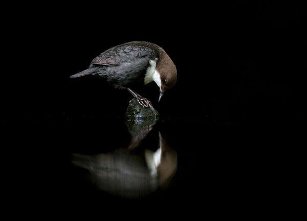 Foto Merlo acquaiolo allo specchio del fotografo norvegese Terje Kolaas, classificato terzo nella categoria Miglior ritratto. - Sputnik Italia