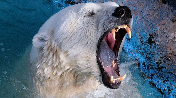 Un orso polare spalanca le sue fauci - Sputnik Italia