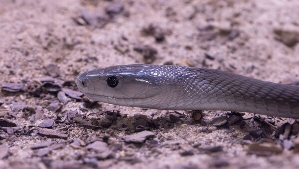 Un serpente black mamba - Sputnik Italia