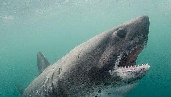 salmon shark  - Sputnik Italia