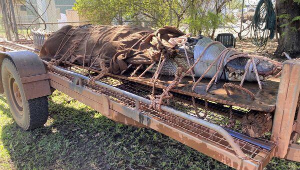 Крокодил весом 350 килограммов, пойманный на севере Австралии - Sputnik Italia