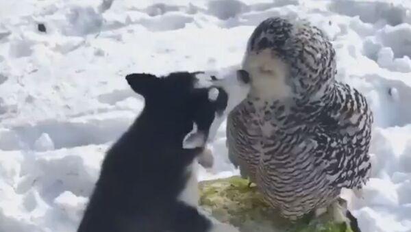 L'amicizia incredibile fra un Husky e un gufo  - Sputnik Italia