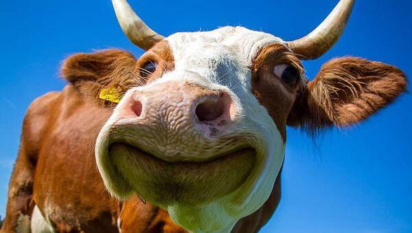 White and Brown Cow - Sputnik Italia