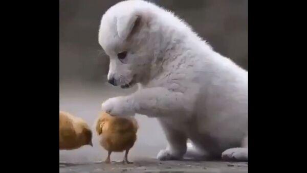 Cucciolo di cane e pulcini - Sputnik Italia