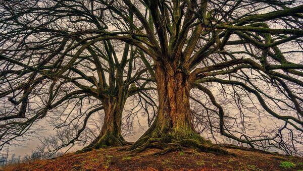Grandi e vecchi alberi - Sputnik Italia
