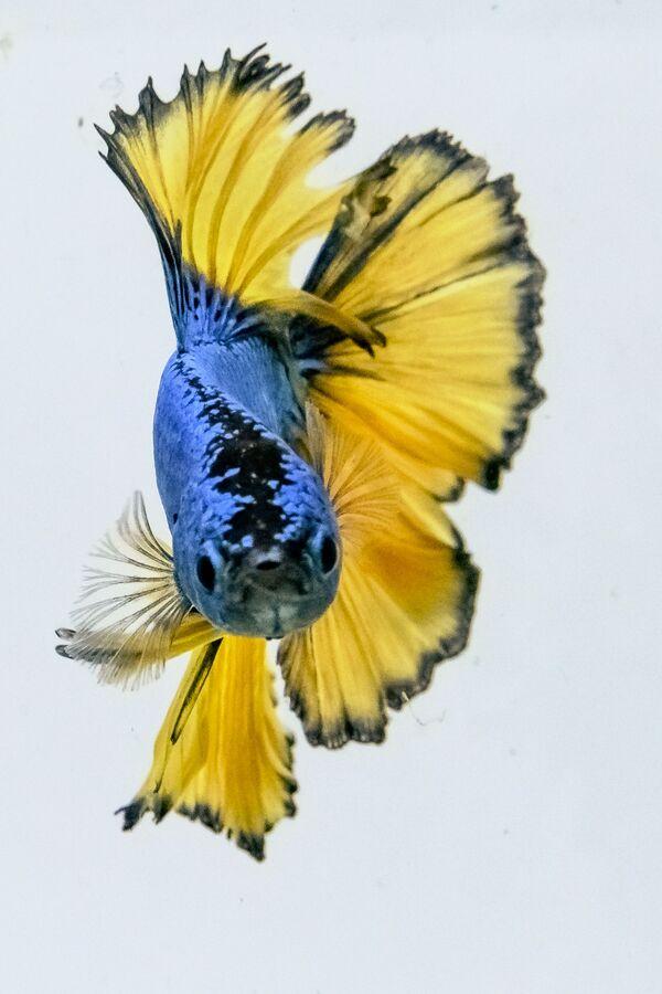 In natura, questa specie non è solitamente colorata.  - Sputnik Italia