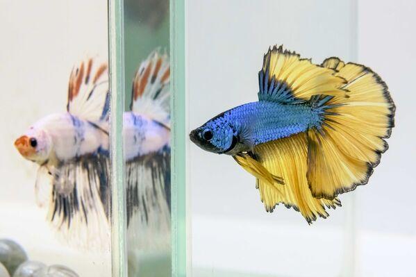 I Bettas sono uno dei pesci più conosciuti, più colorati e spesso più controversi nell'hobby con acqua dolce. I dibattiti infuriano sull'opportunità di tenerli in piccole ciotole. - Sputnik Italia
