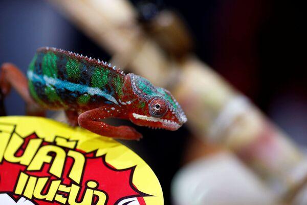 Un camaleonte, il Pet Expo Thailand a Bangkok, Thailandia, 6 settembre 2020 - Sputnik Italia