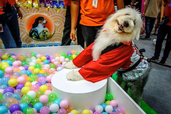 Un cane indossa un abito cinese al Pet Expo Thailand 2020 a Bangkok, il 5 settembre 2020 - Sputnik Italia