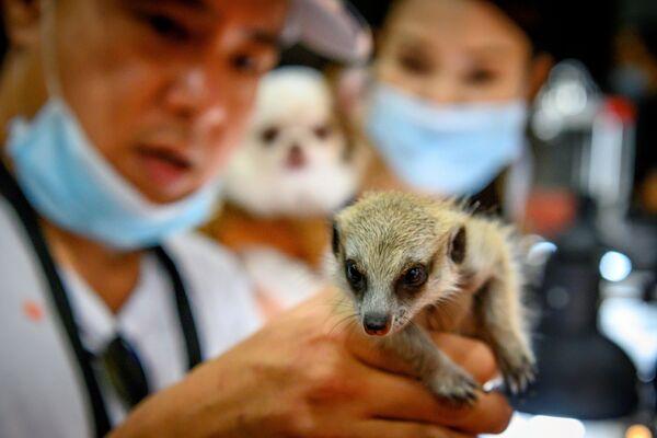 Un visitatore tiene un suricato al Pet Expo Thailand 2020 a Bangkok il 5 settembre 2020. - Sputnik Italia