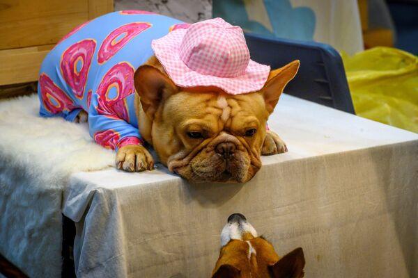 Due cani al Pet Expo Thailand 2020 a Bangkok il 5 settembre 2020. - Sputnik Italia