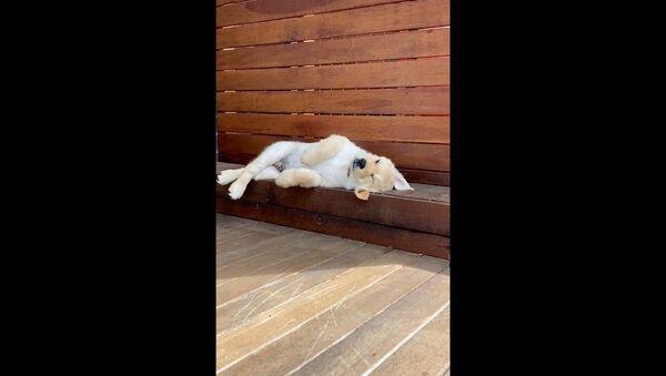 Il cucciolo di Golden Retriever fatica a sentirsi comodo - Sputnik Italia