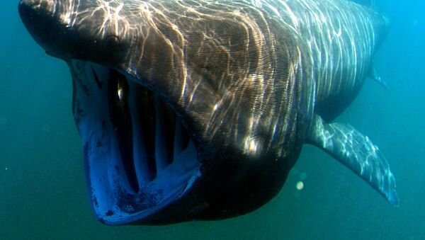 Гигантская акула - Sputnik Italia