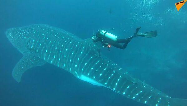 Le Galapagos, ricercatori attaccano dispositivi di trasmissione agli squali balena - Sputnik Italia