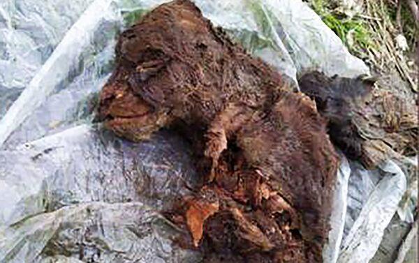 L'orso delle caverne dell'Era glaciale trovato in Jacuzia  - Sputnik Italia