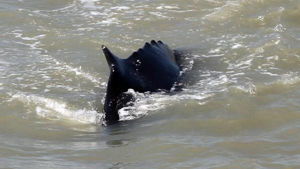 Una ballena nell'East Alligator River  - Sputnik Italia