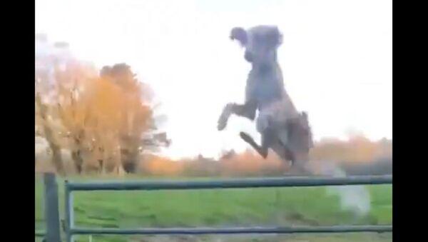 Un cane...elicottero! - Sputnik Italia