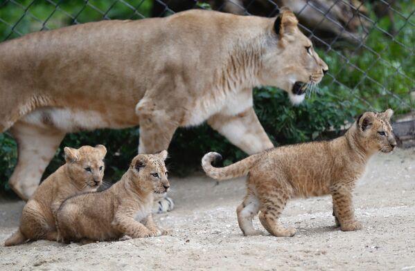 Tre cuccioli di leone berbero sono nati in uno zoo ceco, un'aggiunta ad un piccolo sopravvissuto popolazione di una rara sottospecie di leoni che si è estinta in natura - Sputnik Italia