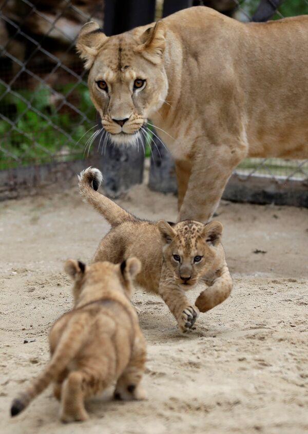 I cuccioli di leone berbero appena nati corrono vicino alla madre Khalila all'interno del loro recinto allo zoo di Dvur Kralove, Repubblica Ceca, il 10 settembre 2020 - Sputnik Italia