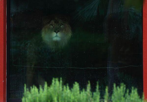 Il leone berbero Napoleone allo zoo di Dvur Kralove, Repubblica Ceca, giovedì 10 settembre 2020 - Sputnik Italia