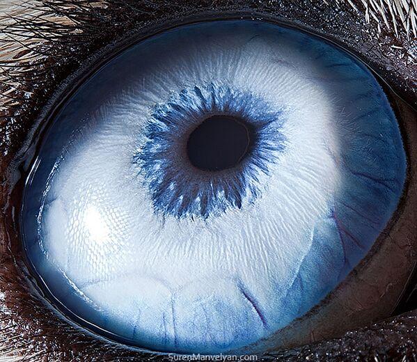 La foto macro degli occhi di husky, Suren Manvelyan - Sputnik Italia
