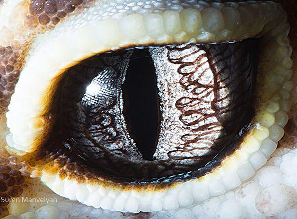 La foto macro degli occhi di geco Eublepharis, Suren Manvelyan - Sputnik Italia