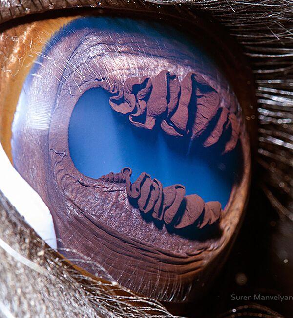 La foto macro degli occhi di lama, Suren Manvelyan - Sputnik Italia