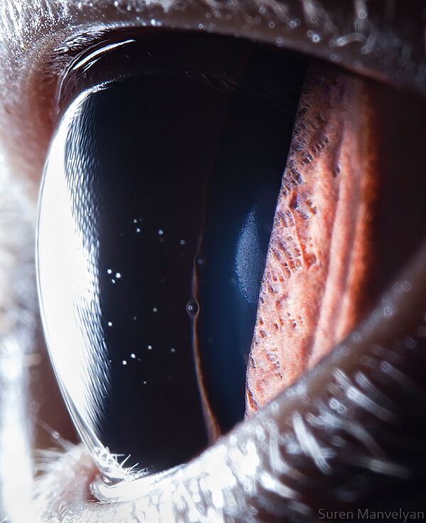La foto macro degli occhi di gatto, Suren Manvelyan - Sputnik Italia