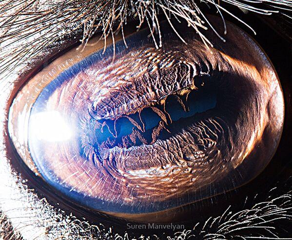 La foto macro degli occhi di cammello, Suren Manvelyan - Sputnik Italia
