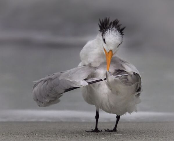 La foto La sterna riordina le sue ali del fotografo Danielle D'Ermo, The Comedy Wildlife Photography Awards  2020 - Sputnik Italia
