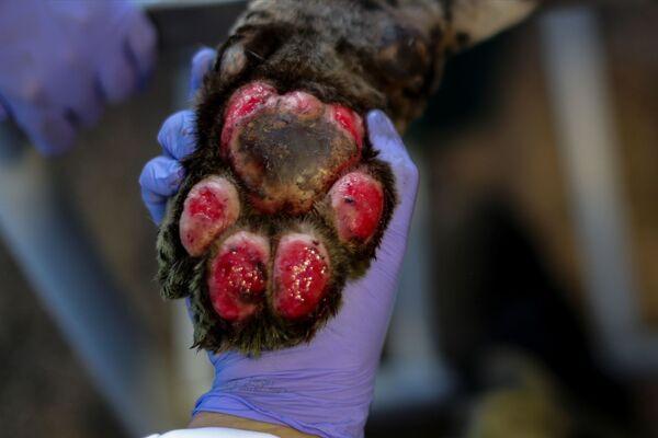 Una zampa di un giaguaro in cura presso il centro NGO Nex Institute in Brasile - Sputnik Italia