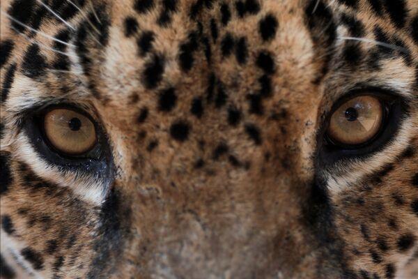 Un giaguaro in cura presso il centro NGO Nex Institute in Brasile - Sputnik Italia