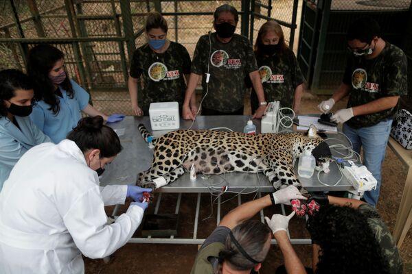 La cura di un giaguaro ferito dagli incendi forestali in Brasile - Sputnik Italia