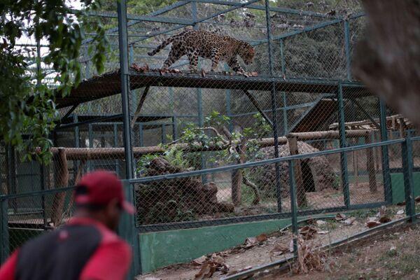 Il giaguaro Guarani in cura nel centro NGO Nex Institute in Brasile - Sputnik Italia