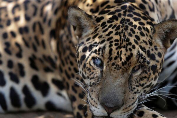 Un giaguaro viene curato presso il centro NGO Nex Institute in Brasile - Sputnik Italia