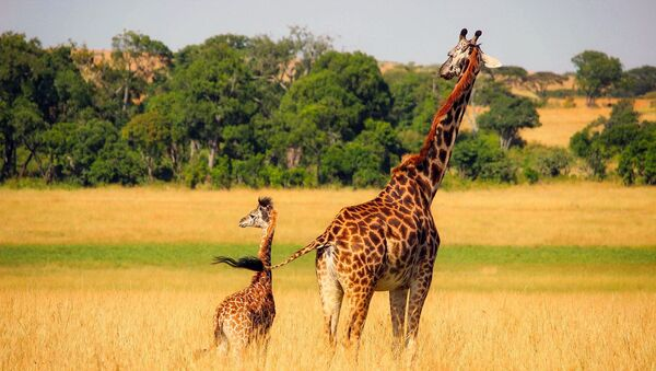 giraffa - Sputnik Italia