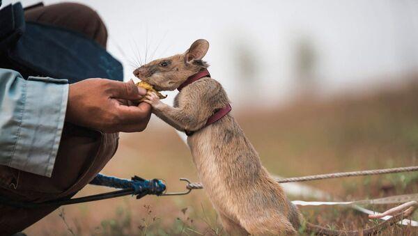 Un ratto di nome Magawa specializzato nella bonifica dei terreni minati - Sputnik Italia
